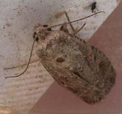 Adult (Spodoptera exigua)