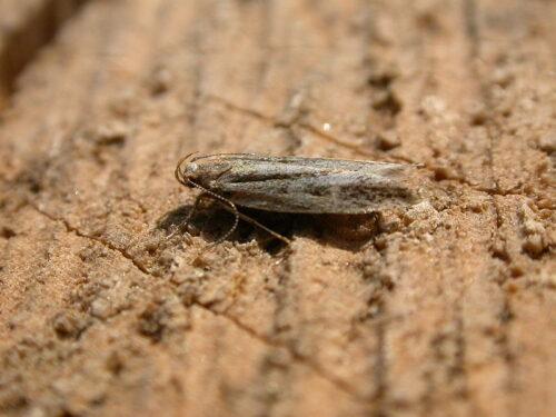 Anarsia liniatella. Foto 1 (photo Donald Hobern 2014)