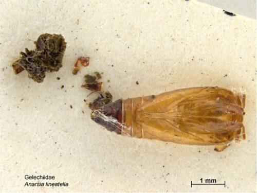 Anarsia liniatella. Foto 2 (photo Caroline Harding, MAF 2011)
